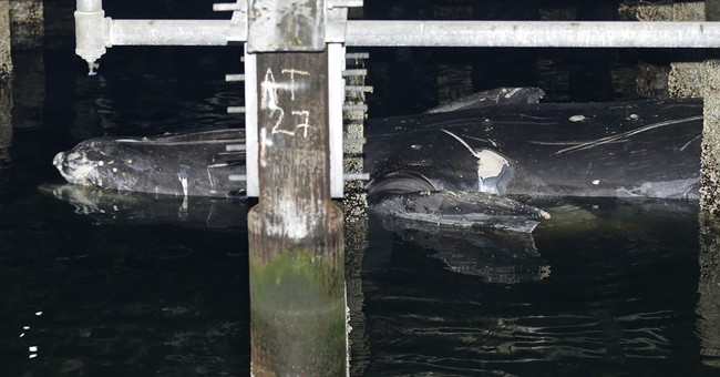Exam to study dead whale found at Seattle ferry terminal