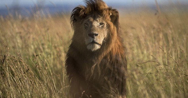 New study says trade in South African lion bones is surging