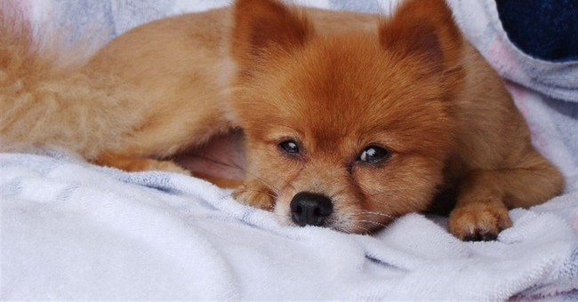 Beaten Pomeranian found with note: 'We beat it 2 death lol'