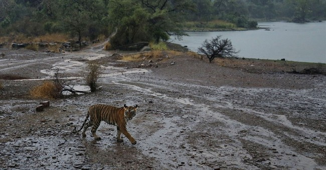 Wildlife groups say 41 tigers have died in India this year