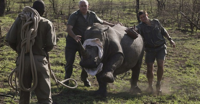 South Africa counts carcasses as rhino poaching surges