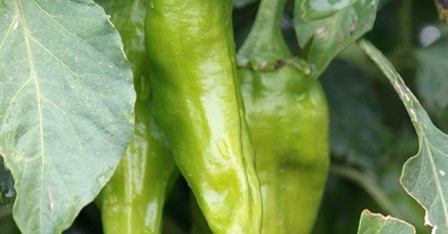 New Mexico green chile growers want new guest worker program