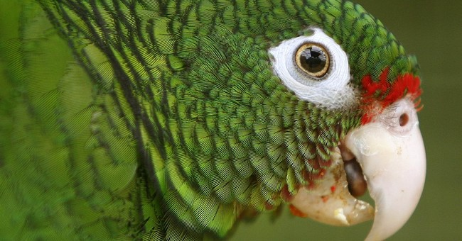 Puerto Rico parrots getting new home amid bid to save them
