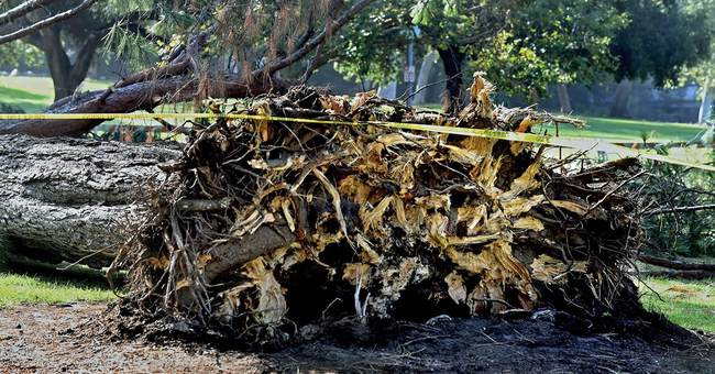 Poor roots, water weight may have toppled tree onto children