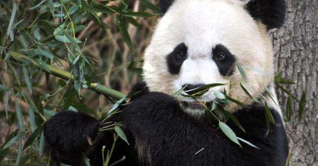 Zoo vets think mom of giant panda Bao Bao is pregnant again