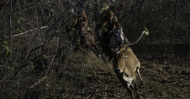 AP PHOTOS: Brazilian cowboys take on bulls in unique rodeo