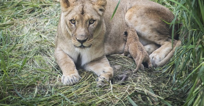 6 lion cubs born to half-sisters at Columbus Zoo