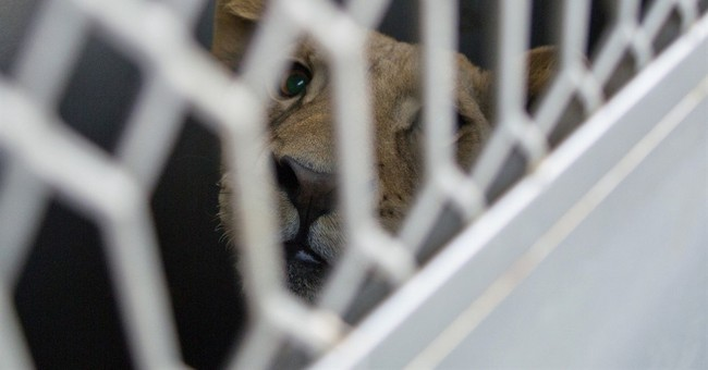 Mexico airlifts big cats, coyote to US wildlife sanctuary