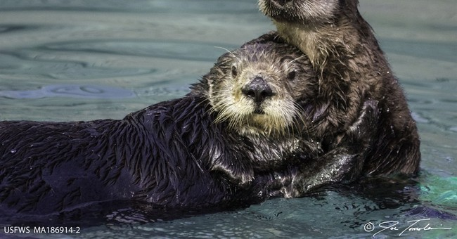School: Sea otter conceived in wild is 1st born in captivity