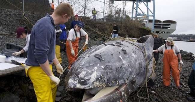 Dead whale found at Seattle dock struck by ship propeller