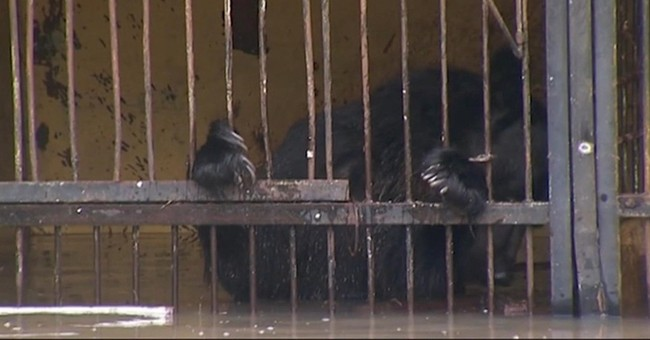Flood at Russian zoo kills 1 bear, traps 14 others in cages