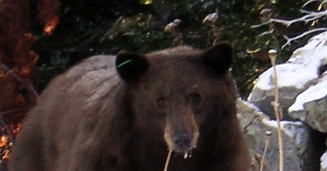 3rd problem bear from same mom's littler euthanized at Tahoe