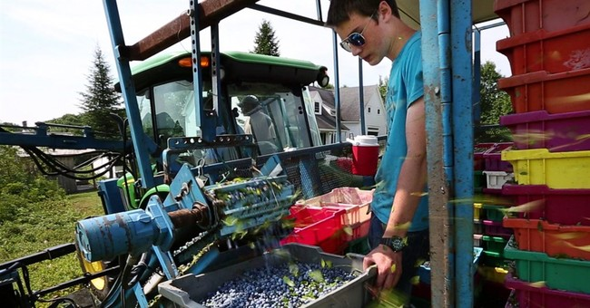 Machines take place of migrants as berry harvest booms