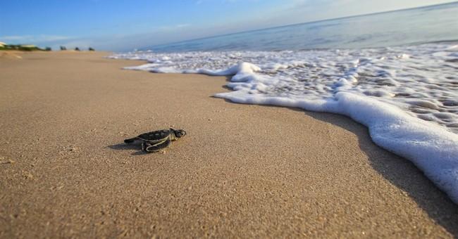 Sea turtles set new nesting records in Georgia, Florida