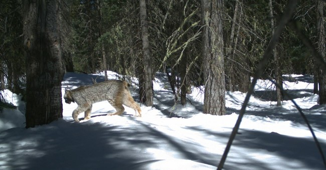 Rare photos of Colorado lynx captured by automated cameras
