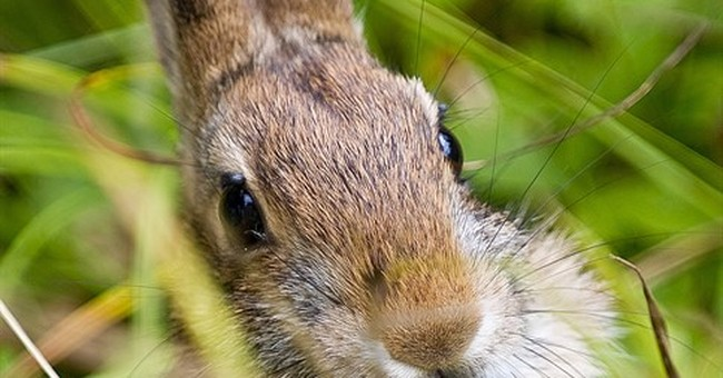Feds say New England cottontail doesn't need protection