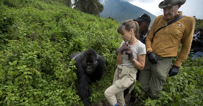 Rwanda: Tourists marvel at gorillas whose numbers are rising