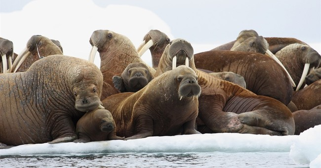 Agency nixes proposed rafts where walrus can rest off Alaska