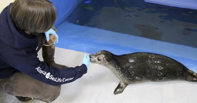 Blind harbor seal learns basic skills at Alaska aquarium