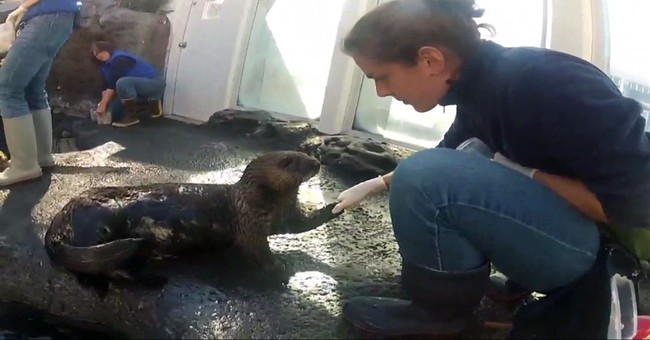 Seattle Aquarium trains otter to use inhaler for asthma