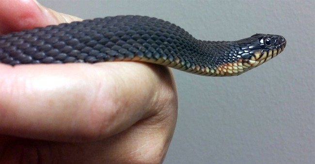 Captive snake with no male companion gives birth _ again
