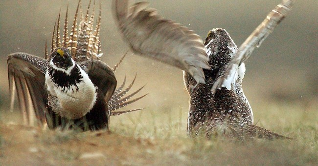 Shift in US firefighting prioritizes sage grouse in West