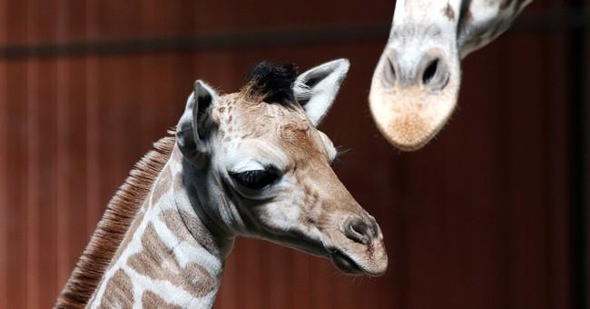 Milwaukee County Zoo has new baby giraffe