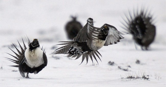 The Latest: Rancher: Sage grouse cooperation broke distrust