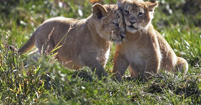 Lion cubs in 1st of 2 litters make their debut at Ohio zoo