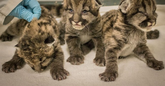Oregon Zoo temporarily takes in 3 orphaned cougar cubs