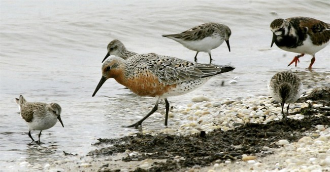 Advocates: Oyster farming may hurt threatened shorebirds