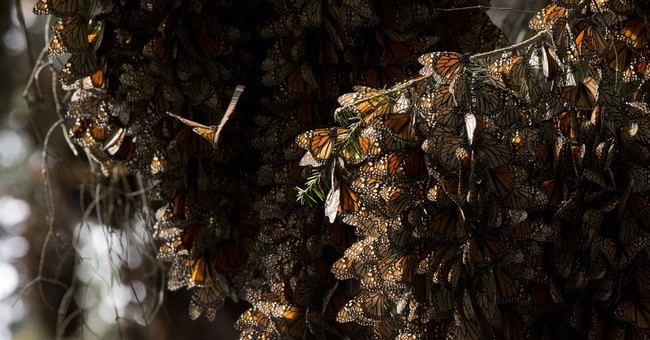 Monarch butterflies rebound in Mexico, numbers still low