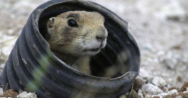Government wants protection restored for Utah prairie dogs