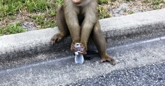 Monkey has fun on the loose in Orlando suburb