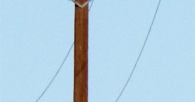 Mountain lion perched on power pole captured in rare photo