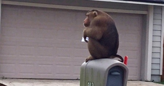 Monkey has fun on the loose in Orlando suburb
