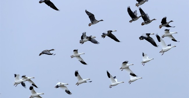 Federal court: Intent matters in migratory-bird deaths