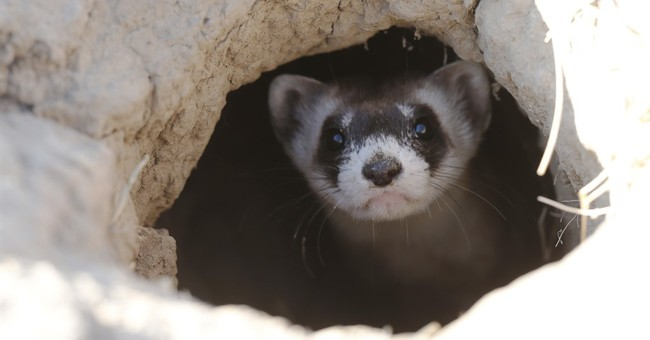 Rare ferrets find new home on former toxic site in Denver
