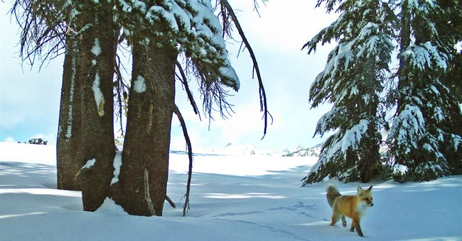 Rare Sierra Nevada red fox spotted in Yosemite park
