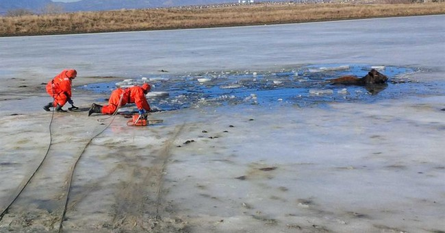 Firefighters rescue cows that took icy dip in Colorado pond