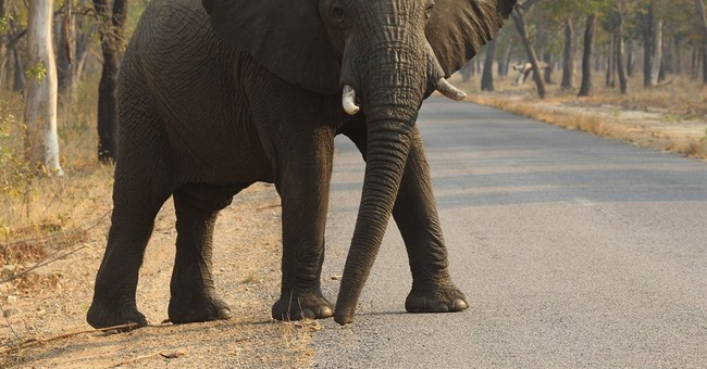 Why is elephant cancer rare? Answer might help treat humans