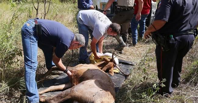 Bull elk keeps authorities on the run in downtown Waco