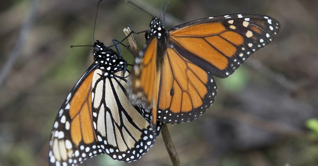 Monarch butterflies begin entering Mexico on migration