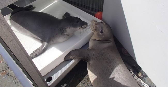 Rare monk seals  doing well in Northwestern Hawaiian Islands