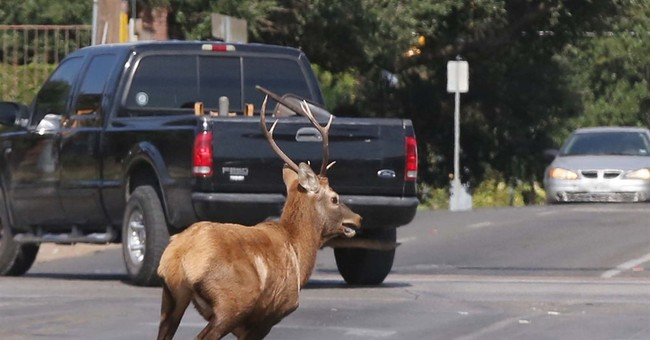Bull elk keeps authorities on the run in downtown Waco