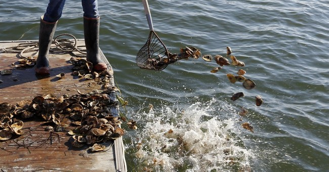 New Hampshire oyster project: Cooperation on the half shell