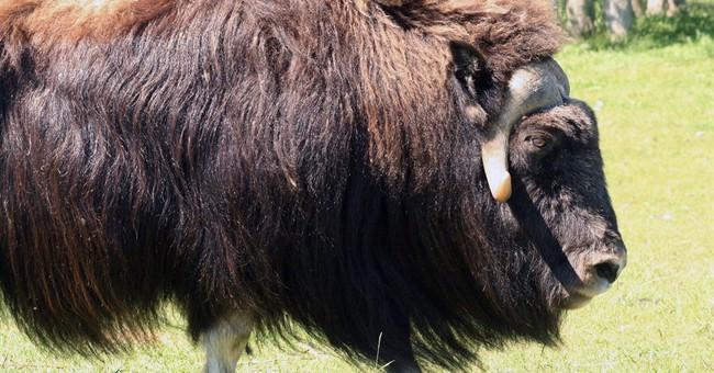Alaska OKs hunting of musk oxen stranded on sea ice