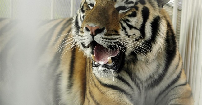 LSU's live mascot won't attend games rest of this season