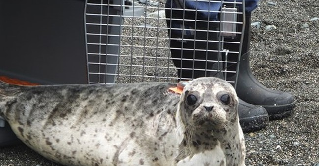 Abandoned seal pup, now healthy, released back to wild