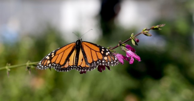 Monarchs get help from unlikely source: California's drought
